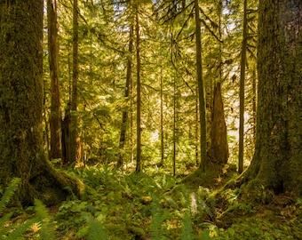 American Jungle - Washington State, Nature, National Park, Fine Art, Large Photo