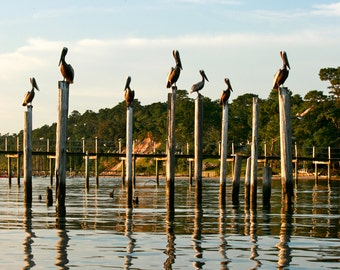 Pelicans in Mobile Bay near Fairhope, Montrose, and Daphne, Alabama