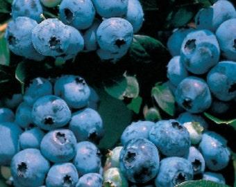 1 Collins -  Blueberry Plant