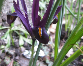 Photography - study of a beauty - purple IRIS