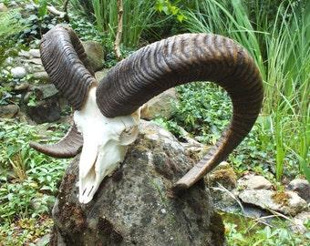 SALE **** Strong Mouflon  * czech taxidermy * trophy * by Marek Švub