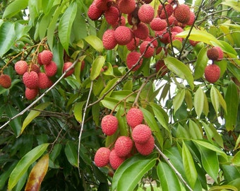 5 lychee seeds