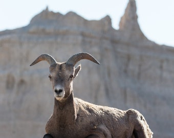 Greeting card_042 - Bighorn sheep in Badlands