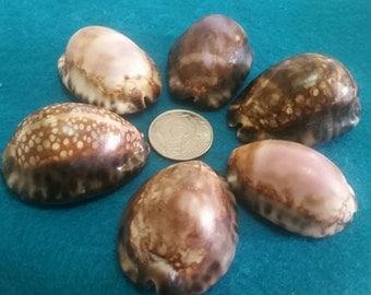 Jumbo cowry shells