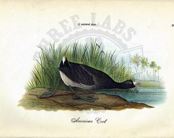 Original 1888 Chromolithograph Print of American Coot