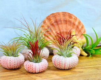 Gift Wrapped Air Plant & Pink Sea Urchin - All Natural - Great Gifts, Desk Decor, Low Shipping!