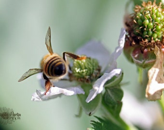 BUMBLE BEE Butt on RASPBERRY Blossom Wall Art, Photography Macro Soft Focus Wings