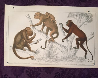 Hand-Colored engraving of Howler Monkeys