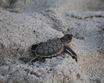 Baby Sea Turtle Photo #3