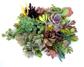 """Succulent clippings 20 succulent cuttings 20 different 1-5"""" large succulent clippings succulent kit succulent garden succulent starter kit"""