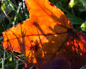 Copper Showstopper Leaf Nature Photography Print