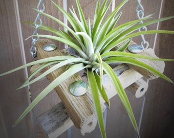 Tillandsia hanging planter, air plant, indoor plant, driftwood