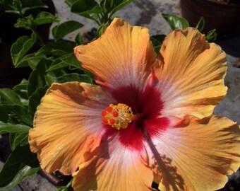 Tropical Hibiscus rosa-sinensis 'Fiesta' ~ Live Starter Plant