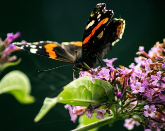Butterfly photography print.