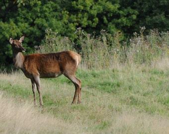 Deer photograph wall deco, nature, landscape, woodland, animal