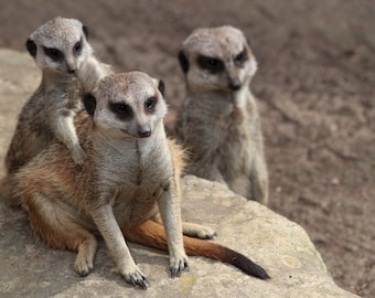 Meerkat Family, Animal Photography, Wildlife Photography