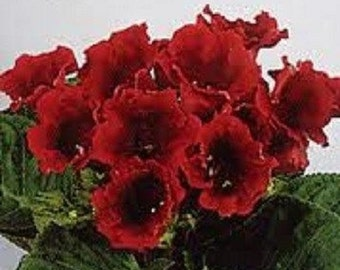 25+ Scarlet Avanti Gloxinia / Flower Seeds