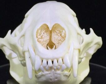 North American Badger Skull