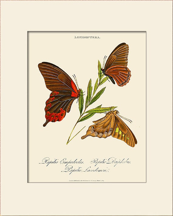 Butterfly Art Print with Mat, Papilio Empedocles, Plate 17, Donovan, Natural History Illustration, Wall Art, Wall Decor, Butterfly Art