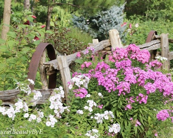 Flower photography, flower garden with fence, rustic, country, purple, white flowers, wall art, fine art, print