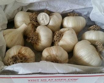 Large German Hard Neck Planting Garlic - Preorder ready to ship Aug. 22nd 2017