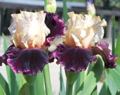 Raspberry Swirl,one iris rhizome