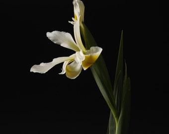 Tulip - Flower still life  fine art photography