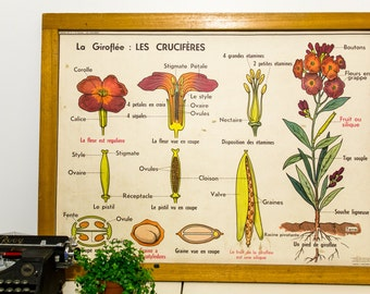 French Vintage School Chart - Mid-century from French School - Crucifers (Wallflower) & Ranunculaceae
