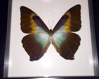 Sunrise Sunset Morpho Butterfly