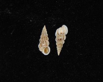 Sea Shells - Epitonium commutatum