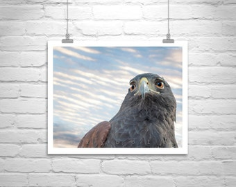 Hawk Art, Bird Print, Hawk Photograph, Bird Photography, Harris Hawk, Bird Art, Hawk Bird, Wildlife, Art Photography, MurrayBolesta