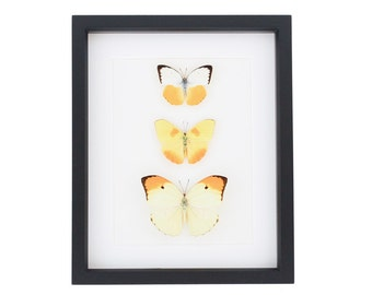 Framed Butterflies Yellow Orange Display