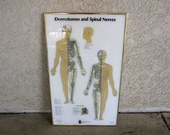 Vintage Medical Poster. Dermatomes and Spinal Nerves. Circa 1980's.