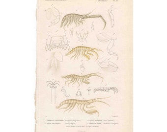 18 ANTIQUE SHRIMP ENGRAVING rare antique french crustacean print