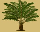 antique french botanical print tropical royal palm tree illustration digital download