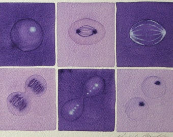 Purple Mitosis  - original watercolor - cell cycle