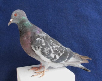 Gray Rock Dove Pigeon Real Bird Taxidermy Mount Barred Wing Pattern