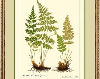 BRITTLE BLADDER FERN - Vintage Botanical  print reproduction - 503