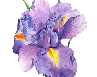Iris print of watercolour painting, A3 size, I13016, Iris watercolor painting, iris print, flower watercolor painting, botanical art