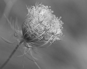 Wildflower Photography, Black and White Flower Art, Queen Anne's Lace, Botanical Photo, Prairie Art, Nature Photograph, Delicate, Beginnings