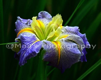 Lavender Purple Green Yellow Orange, Louisiana Iris, Flower Photography, Fine Art Photography signed matted 8x10 original photograph