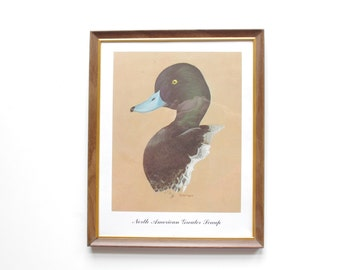 North American Greater Scaup - Framed Wildlife Duck Print - Wall Hanging