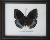 Real BUTTERFLY Collection Taxidermy in Frame / BTF01CC