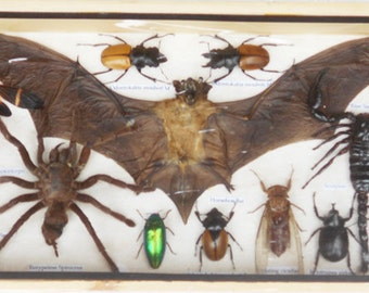 REAL Multiple INSECTS BEETLES Cicada Scorpion Spider Bat Collection in wooden box/is08UU