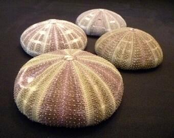 "Alfonso Sea Urchin 4"" plus alphonso gator green beach theme wedding decor air plants sea shells"