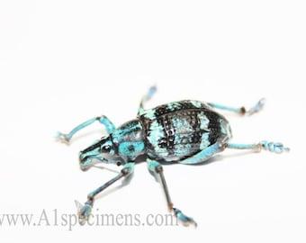 Eupholus Linnei Spread Dried Blue Weevil Specimen