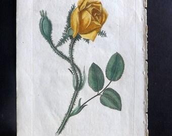 Dr. Robert Thornton 1812 HCol Botanical Print. Moss Rose