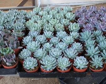"""5 Gorgeous Rosette ONLY Succulents in their 4"""" plastic containers wedding shower FAVORS party gifts plants succulent"""