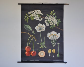 Original Mid Century Botany Print. Cherries. Pull Down School Chart. Jung Koch Quentell. Germany. 1234