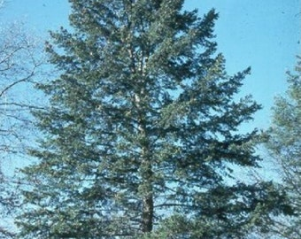 Blue Douglas Fir Tree Seeds, Pseudotsuga taxifolia glauca - 25 Seeds